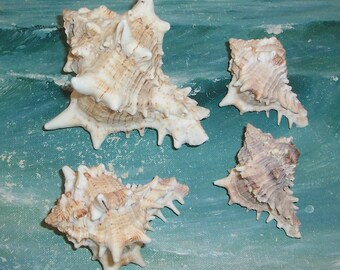 Lot of 4 FLORIDA Navarre BEACH Collected Giant Eastern Murex Shell SEASHELLS #1
