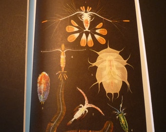 Crustaceans Under the Sea color lithograph original 1934 - ocean nautical - print or matted 8 by 10 in frame marine life scientist science