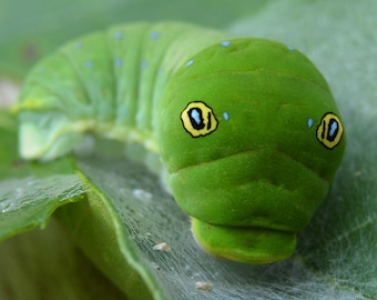 Framed Eastern Tiger Swallowtail caterpillar