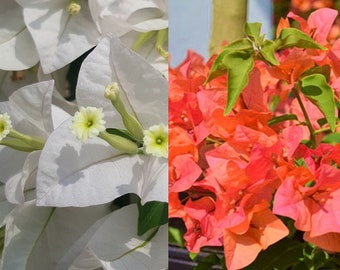 Bougainvillea Combined two colors in one plant orange/white