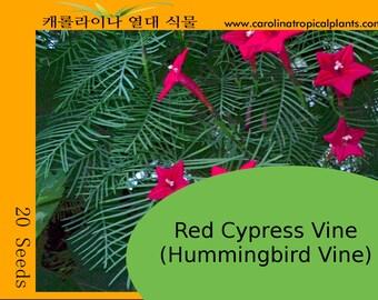 Red Cypress Vine Seeds (20 Seeds) (Hummingbird Vine)