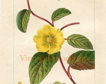 Antique Botanical Print Pancrace Bessa c1820. Yellow Guinea Flower Hibbertia dentata Original Handcolored Botanical Engraving Botanists Gift