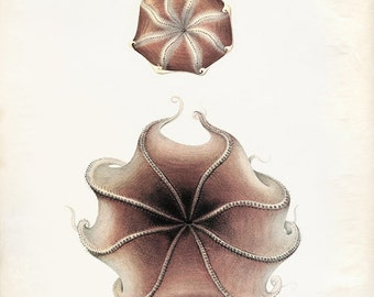 Vintage Octopoda Print 8x10 P267