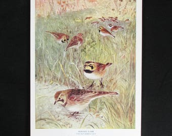 Vintage Horned Lark Bird Print and Educational Leaflet, Audubon Society