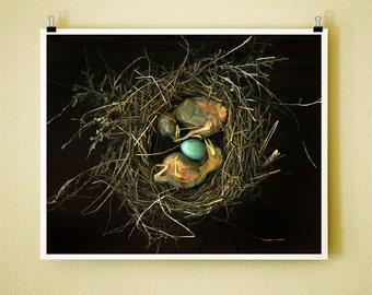 ROBIN NEST - 8x10 Signed Fine Art Photograph - baby robins in nest - home decor, wall art, art print