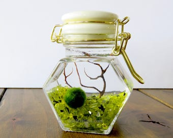 Marimo Terrarium Kit: White and Gold Small Glass Jar Moss Terrarium Kit, 23 Colors, Gift Wrap, Card, Fast shipping