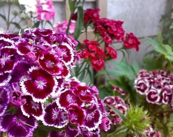 Garden carnation Pinnocchio seeds fresh  in package 1 gr