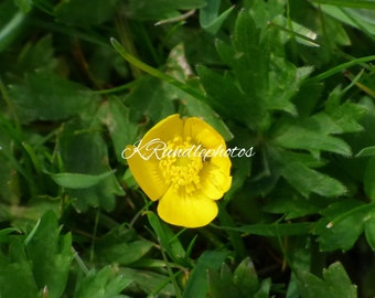 Photo Print of a Buttercup in the Grass using a Original Photo