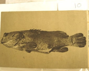 Vintage Miami Florida Postcard with a Jewfish