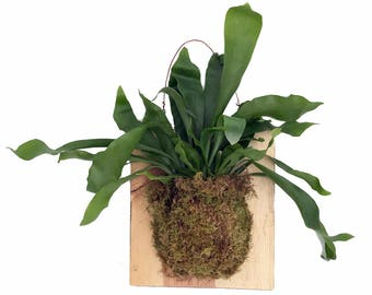 "Large Live Staghorn Fern Mounted - Great Houseplant -10""x 9"" Natural Wood Plaque"
