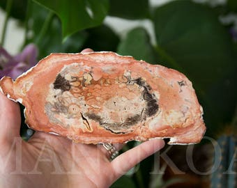 Petrified Tree Fern Fossil Slice | Tietea singularis | Permian Petrified Wood Display Specimen from Brazil | Healing Crystals | Crystal 13