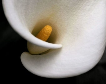 "Flower photograph, white calla lily, dramatic wall art -- ""Curves"", a 5x7-inch fine art photograph"