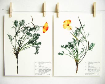 California Poppy Print Set; botanical print pressed flower art pressed botanical art state flower herbarium specimen dried flower art 61ab