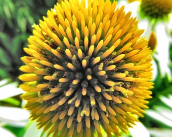 Cone Flower, Flower Photography, Photographic Art, Photographic Print, Wall Art Print, Wall Decor, Cone Flower Photograph