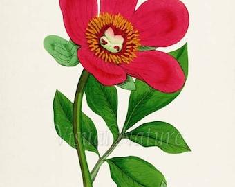 Wild Peony Flower Art Print, Botanical Art Print, Flower Wall Art, Flower Print, Floral Print, red, green, Paeonia officinalis Mas