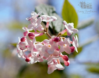 Lilac, Nature Photography, Flower Photography, Floral Photograph, Vintage Home Photography, Rustic Decor Photography