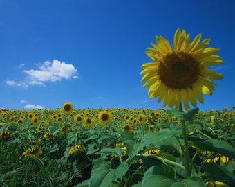 Sunflower Field (digital download)