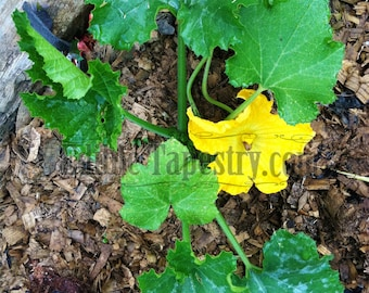 Squash Plant Printable Photo Yellow Bloom Farm Garden Food Photography Zucchini Flower Growing Vegetables Image Raised Bed Gardening File