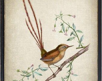 Bird Art Print, Des Murs's Wiretail Vintage Bird Illustration, Instant Download Wall Art Printable