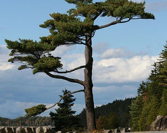 Bonsai Giant, Bar Harbor, Mt. Desert Island, Maine, Acadia National Park, Seascape, Rocks, Fine Art, Wall Art