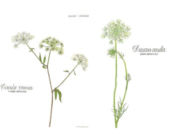 Water Hemlock and Queen Anne's Lace,  Watercolor Botanical Illustration, 16x20""
