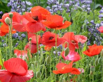 Shirley Poppy Seed,Papaver roheas, Corn Poppy Seed, Mixed Shirley Poppy Seeds, Great for Meadow Gardens and Pollinator Gardens