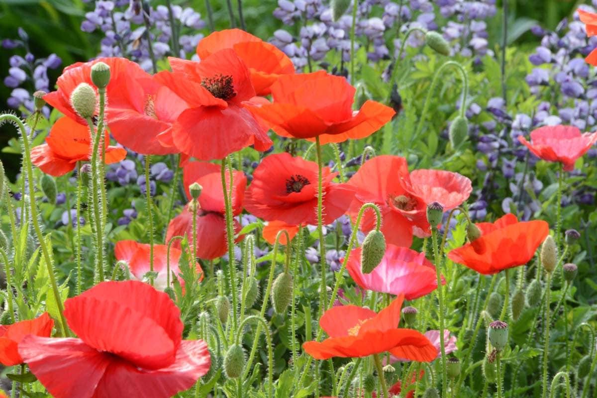 Shirley poppy seedpapaver roheas corn poppy seed mixed zoom mightylinksfo
