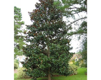 Magnolia tree etsy southern magnolia 1 gallon potted plant healthy plant creamy white flowers spring foliage rich fragrance may to june blooms mightylinksfo