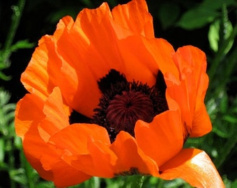 Prince Of Orange Papaver Flower Seeds / Orientale / Perennial 50+