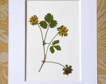 Real Pressed Flower Art Botanical Herbarium of Strawberry Plant 5x7