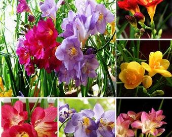 100Pcs Freesia  Perfume Flower Seeds mixed color
