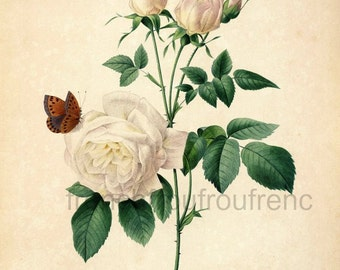 antique french botanical print white roses with butterflies DIGITAL DOWNLOAD
