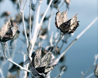 Branch Art Print, Nature Photography Flower Mallow Seed Pods Woodland Rustic Silver Blue Wall Art Wall Decor Gray