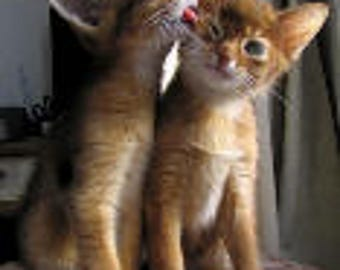 Pair of Abyssinian Kittens Photo Print 5x5 Notecard with Envelope