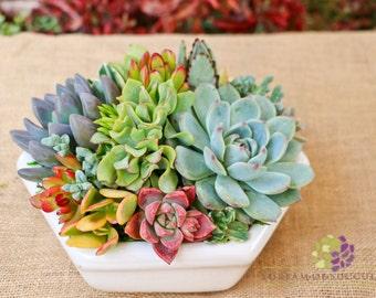Large Hexi-succulent arrangement/centerpiece in white hexagon container/bowl