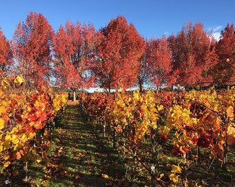 California Vineyard, Sonoma County, Fall, Wall Art, Home Decor, Landscape Photography, Red, Gold, Fall Leaves, Fine Art Print