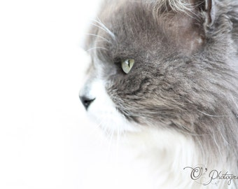 Cat photography print - fine art photography animal lovers nature wall decoration white tan brown intense eye