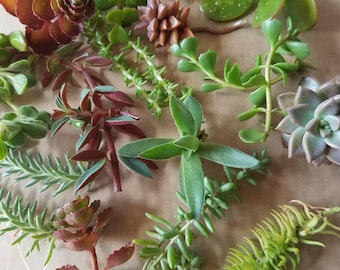 20 Succulent cuttings for propagation.
