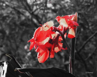 Black and White Photo with a Red Amaryllis