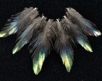 set of 10 lophophore head feathers shining himalayan monal very... R A R E...