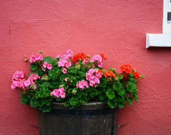 Flowers in Barrel, Dunmore Ireland, Chrysanthemums, Pink, Red, Wall Art, Travel Photography, Fine Art Photography
