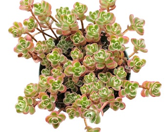 Sedum Spurium Succulents Tricolor Cute Little Three Colored Variegated Stonecrop Ground Cover Succulents Low growing plants of pink & green