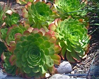 SUCCULENT CUTTINGS, Aeonium, Succulent Plants
