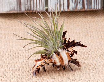 Air Plant in Seashell, Seashell Air Plant, Air Plant Terrarium, Murex Shell, Housewarming Gift, Coworker Gift, For Him, For Her, Unique Gift