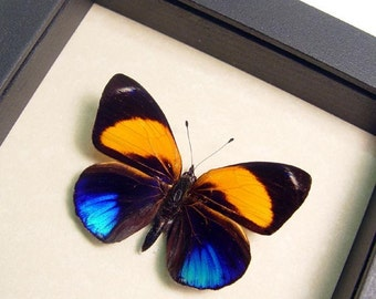 Metallic Blue Orange Real Butterfly Conservation Display 393