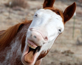 Laughing Horse, Talking Horse, Lively Horse, Funny Animal, Humor Photograph or Greeting card