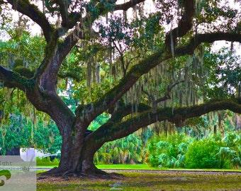 5x7 the Graceful Oaks- City Park Oak Trees.