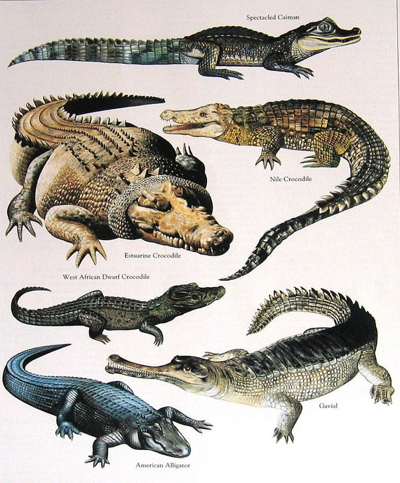 Speckled Caiman Nile Crocodile American Alligator West