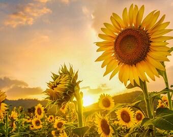 Sunflowers at Sunset - SKU 0224