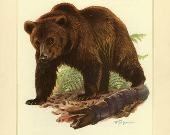 Vintage lithograph of the brown bear from 1956